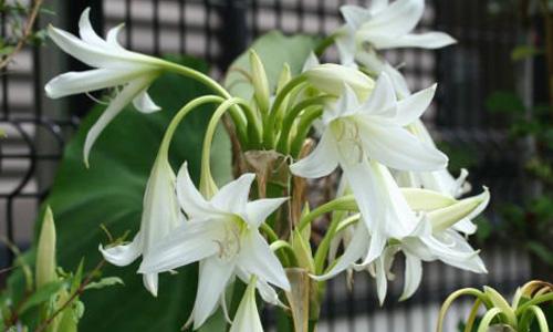 Trinh nữ hoàng cung - loại thảo dược thiên nhiên điều trị viêm lộ tuyến cổ tử cung