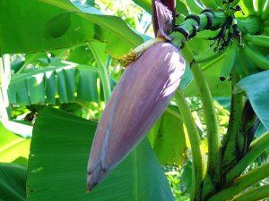 Hoa chuối có tác dụng chữa đau dạ dày