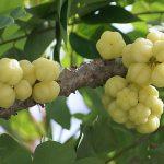 Hỗ trợ điều trị xơ gan hiệu quả nhờ trái chùm ruột