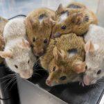 Việt Nam tiến hành thử nghiệm thuốc điều trị ung thư trên chuột