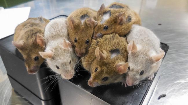 Việt Nam tiến hành thử nghiệm thuốc chữa ung thư trên chuột