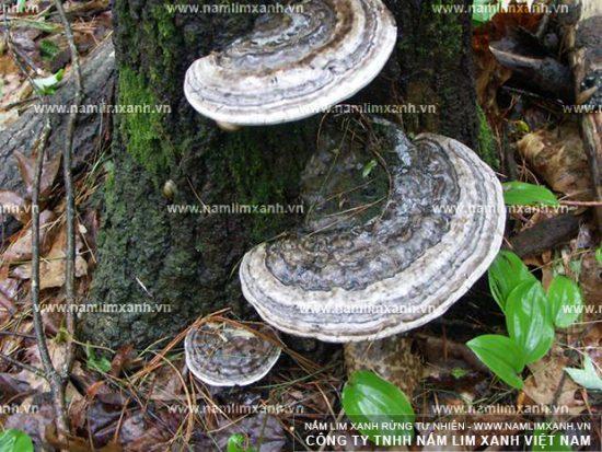 Hình ảnh vềcách nhận biết nấm lim xanh