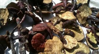 Cách sử dụng nấm lim xanh cho bệnh xơ gan