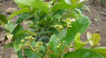 Trị đau dạ dày bằng những thảo dược tự nhiên dễ tìm