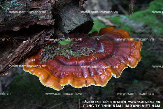 Hình ảnh vềcông dụng của nấm lim xanh Tiên Phước
