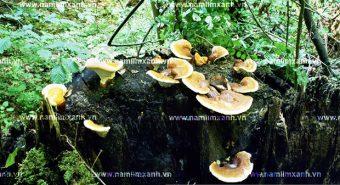 Hình ảnh cây nấm lim xanh rừng tự nhiên và cách chọn nấm lim xanh
