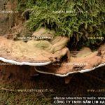 Tìm cây thuốc quý nấm lim xanh Tiên Phước trong rừng tự nhiên
