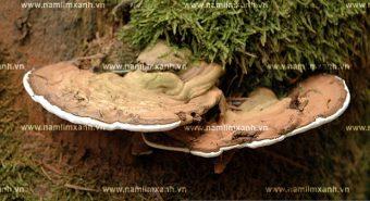 Hành trình gian nan tìm cây thuốc quý nấm lim xanh Tiên Phước