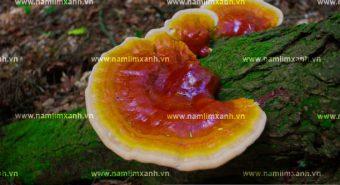 Giá bán nấm lim xanh Quảng Nam trên thị trường bao nhiêu tiền 1kg?