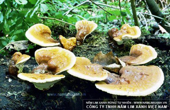 Hình ảnh nấm lim xanh tự nhiên