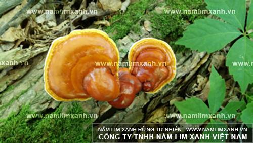Hình ảnh vềcách sắc thuốc nấm lim xanh