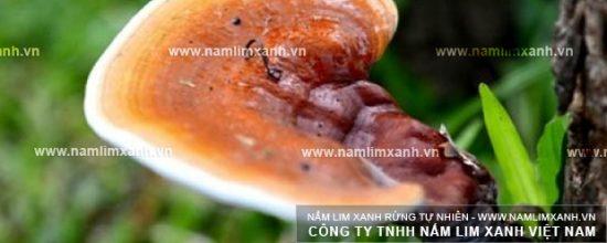 Hình ảnh vềcông dụng của nấm lim xanh