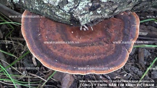 Hình ảnh vềNấm lim Quảng Nam