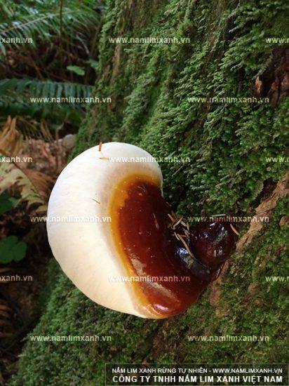 Hình ảnh về tác dụng của nấm lim xanh