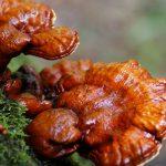 Thực hư nấm lim xanh Quang Nam chữa ung thư gan hiệu quả?