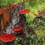 """""""Săn"""" nấm lim xanh giữa rừng sâu"""