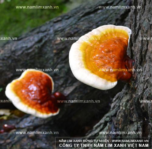 Hình ảnh về nấm lim xanh chữa bệnh đau dạ dày