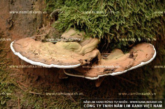 Nấm lim xanh là loại nấm đặc hữu mọc trên cây lim xanh đã chết
