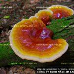 Những nghiên cứu y học về nấm lim xanh cổ truyền