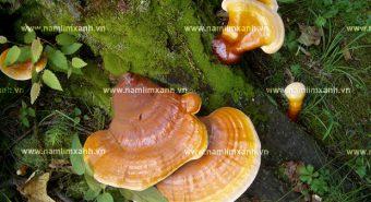 Cách đun nấm lim xanh đảm bảo chất lượng và giữ được dược chất