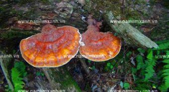 Sự thật về công dụng điều trị bệnh của nấm lim xanh Quảng Nam