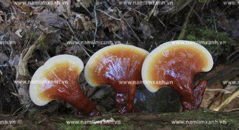Nấm lim xanh Quảng Nam chữa bệnh viêm gan hiệu quả thế nào
