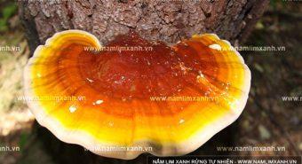 Công dụng của nấm lim xanh Quảng Nam với các bệnh gan thế nào