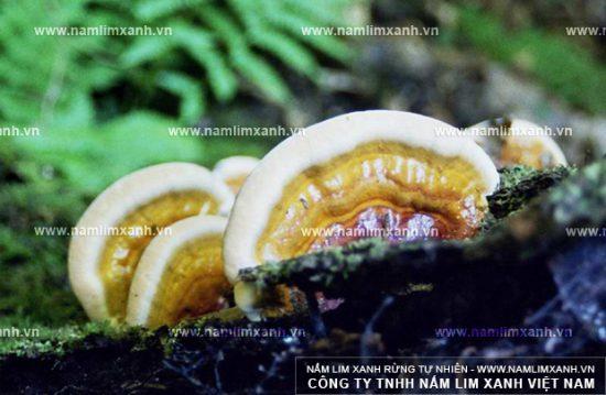 Nấm lim xanh thường được tìm thấy ở vùng suối bùn Tiên Phước thuộc tỉnh Quảng Nam