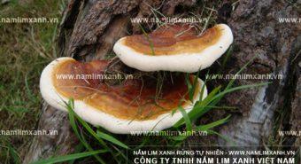 Nấm lim xanh Tiên Phước thảo dược quý hiếm từ thiên nhiên