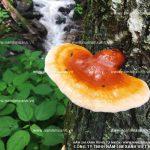 Hỗ trợ điều trị ung thư hiệu quả với nấm lim xanh rừng tự nhiên
