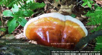 Sử dụng nấm lim xanh hướng dẫn cách dùng và bảo quản nấm lim