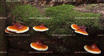 Tác dụng của nấm lim xanh Tiên Phước với bệnh nhồi máu cơ tim