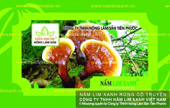 Tác dụng của nấm lim xanh Quảng Nam
