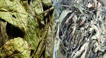Ảnh cây xạ đen tươi, khô có đặc điểm gì khác với cây xạ vàng?