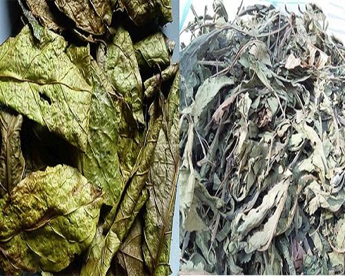 Hình ảnh cây xạ đen khô và cây xạ vàng lúc khô