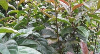 Bán lá xạ đen tại Hà Nội - Cách phân biệt cây xạ đen thật và giả