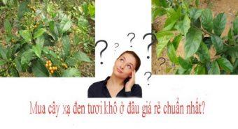 Bán lá xạ đen ở đâu uy tín? Địa chỉ mua cây giống xạ đen tại Hà Nội