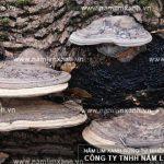 Các loại nấm lim xanh trong thiên nhiên và các thông tin về nấm lim