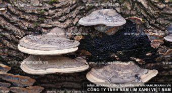 Các loại nấm lim xanh có trong thiên nhiên - Thông tin về nấm lim