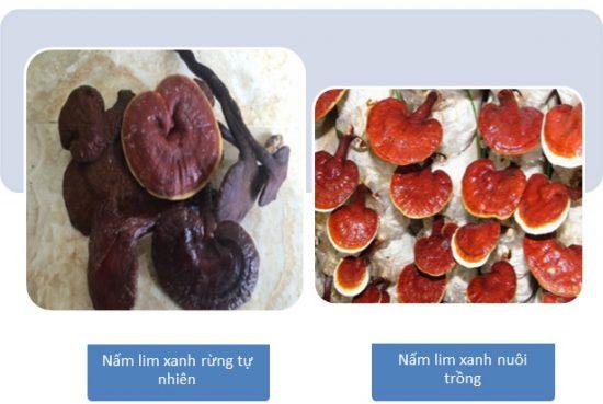 Nấm lim xanh tự nhiên có hình thức khác với nấm lim xanh nuôi trồng