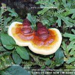 Cách sắc nấm lim xanh điều trị bệnh từ công dụng nấm lim xanh rừng
