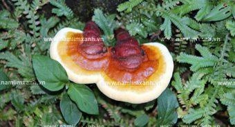 Cách sắc nấm lim xanh điều trị bệnh - Công dụng nấm lim xanh rừng