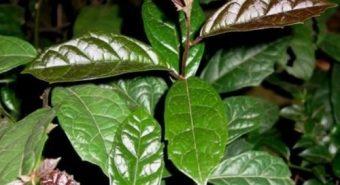 Cách trồng và chăm sóc cây xạ đen. Cách nhân giống cây xạ đen