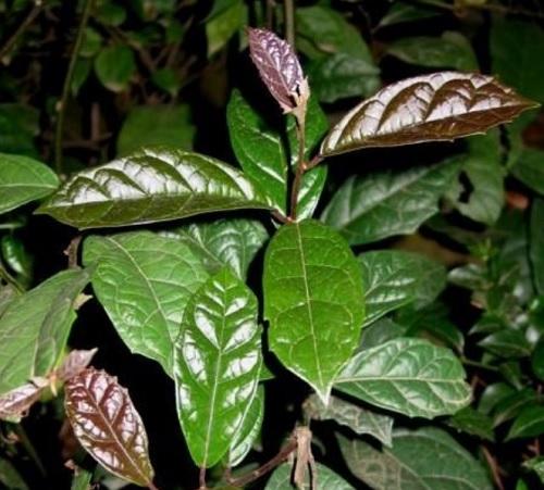Nếu biết được cách trồng và chăm sóc cây xạ đen sẽ giúp làm tăng giá trị dược chất trong cây xạ đen