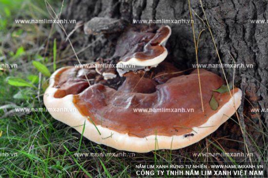 Cây nấm lim rừng hình thức xù xì, xấu xí nhưng giàu giá trị dược chất