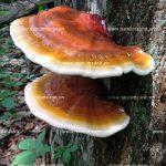 Cây nấm lim xanh: Hình ảnh, nguồn gốc, công dụng nấm lim rừng
