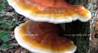 Cây nấm lim xanh với hình ảnh nguồn gốc công dụng nấm lim rừng