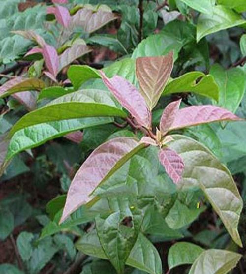 Kĩ thuật trồng và chăm sóc xạ đen tương đối dễ.