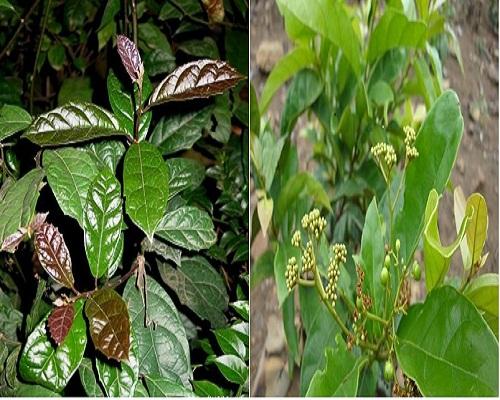 Hình ảnh cây xạ đen và cây xạ vàng trong tự nhiên