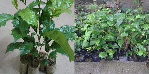 Trồng cây xạ đen cần có kĩ thuật để đảm bảo cây phát triển tươi tốt